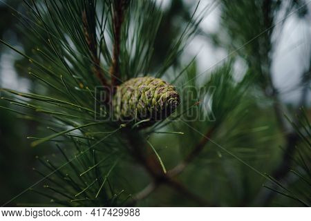 Young Green Cone Of Maritime Pine. Pinus Pinaster.