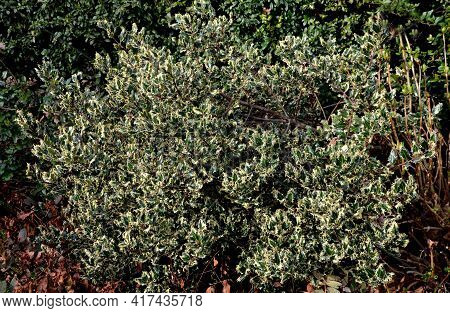 The Variegated Holly Is A Very Striking Decoration Of Every Garden. Its Sharply Serrated Leaves Are