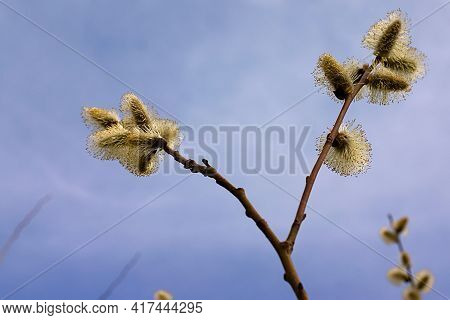 Fluffy Buds Of A Budding Plant In Spring