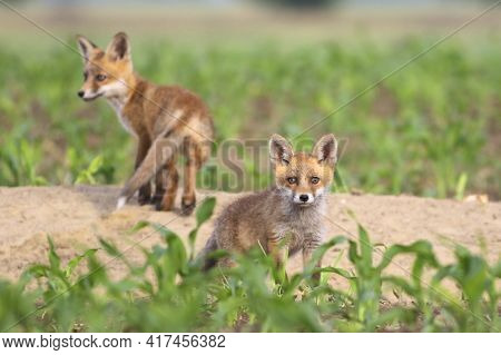 Two European Red Foxes Pups In The Spring Corn Field