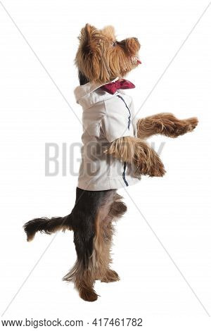 Little Yorkshire Terrier In A Beautiful Suit And Tie Standing On Its Hind Legs On A White Background