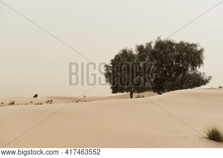Two Lonely Trees Growing In Sandy Wild Desert, Dubai, United Arab Emirates. Dunes And Desert Plants