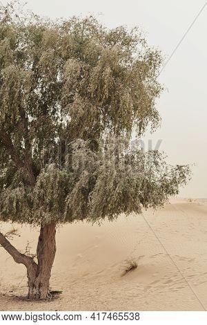 Tree Growing In Wild Desert, Dubai, United Arab Emirates. Desert Vegetation