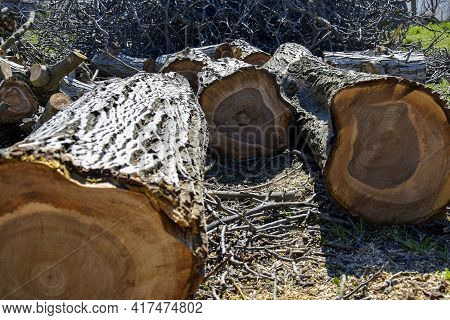 Trunk Of Old Walnut Tree, Sawn Into Pieces. Large Logs With Annual Rings Are Tumbled To Ground, View