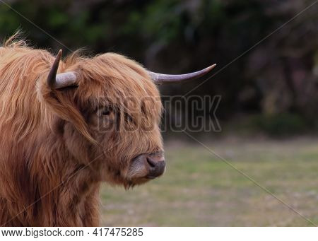 Selective Focus Of Head And Shoulders Of A Highland Cow  Beautiful Red Coat Dark Background To Aid C