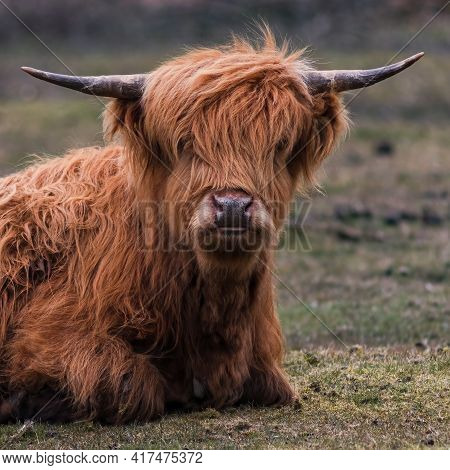 Square Image , Head And Shoulders Of A Highland Cow Close Up  In Selective Focus Looking Into The Ca