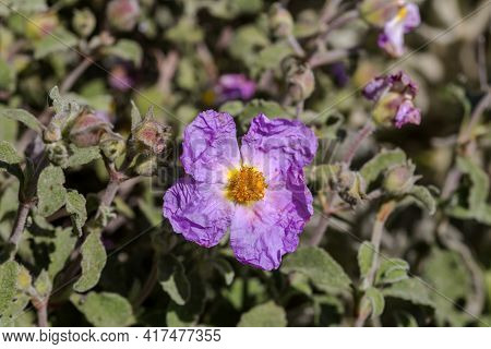 A Useful, Therapeutic Shrub (cistus Ladaniferus) Grows In A Pine Forest In The Mountains Close Up On