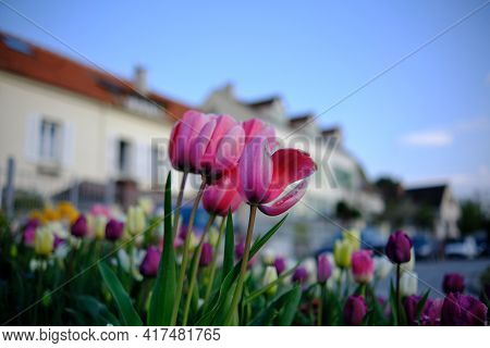 Close Up Of Beautiful Pink And Other Colorful Tulips With Residential Buildings In The Background In