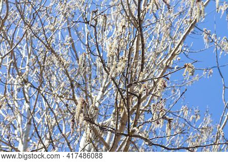 Blooming Alder With Long Inflorescences In Early Spring Against A Blue Sky.