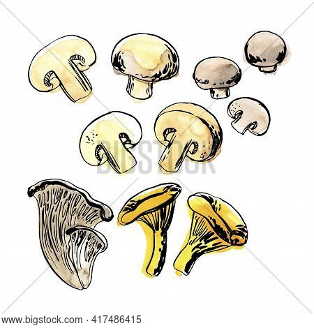 Sketch Of Food Vegetables By Line And Watercolor. Edible Mushrooms, Champignons, Chanterelles