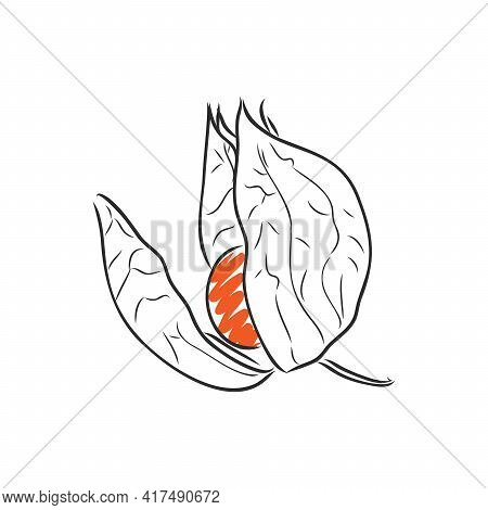 Physalis Autotraced Vector Sketch, Greyscale. Physalis, Vector Sketch On A White Background