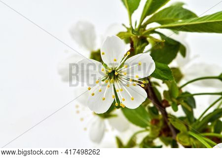 Cherry Inflorescences On A White Background, Flowering Fruit Trees In The Garden.
