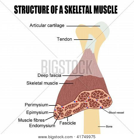 Struktur der ein Skelettmuskel
