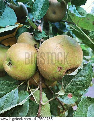 Ripe Apples On The Tree, Reindeer Gray Apples, Fruit Tree, Green Leaves, Fresh Fruit