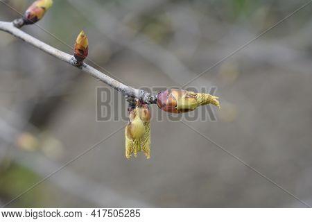 Handkerchief Tree Branch With Buds - Latin Name - Davidia Involucrata Var. Vilmoriniana