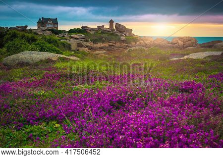 Beautiful Colorful Pink Flowers And Granite Cliffs On The Atlantic Coast At Sunset In Ploumanach, Pe