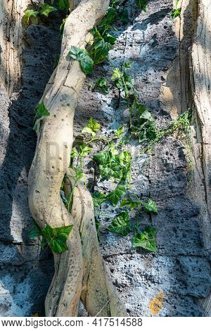 Tropical Background, Jungle Texture And Stone Rock With Lianas In Rainforest