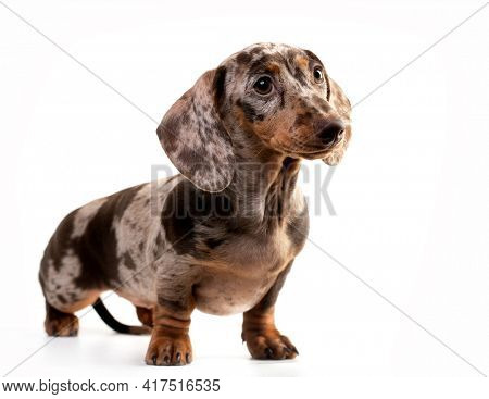 Dogs dachshunds puppy  on white background, dog portrait