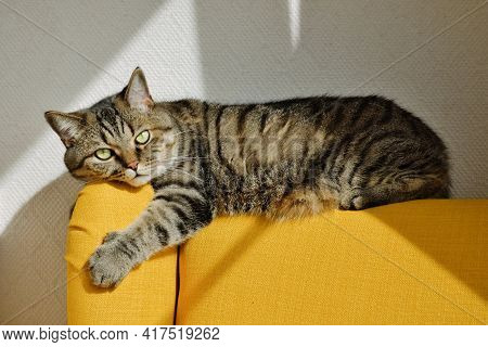 Tabby Grey Cat Lies On Back Of Soft Yellow Armchair