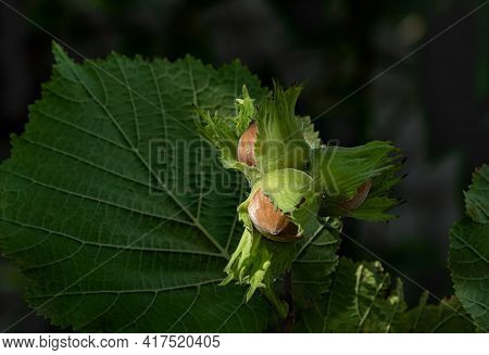 Hazel Nuts In Green Peel With Leaves On A Dark Background. Harvesting Concept