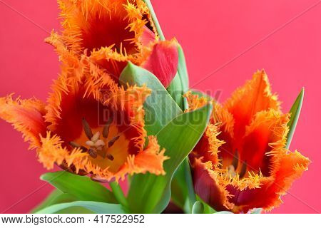 Close-up Of A Red-orange Terry Tulips On Red Background. Spring Floral Background. Soft Focus.