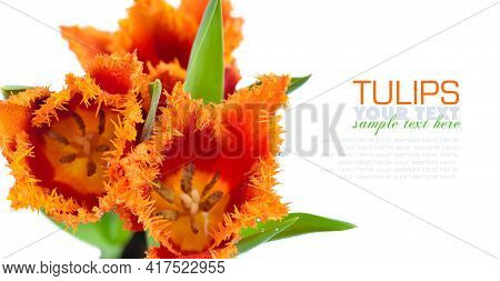 Red-orange Terry Tulips On White Background. Spring Floral Background. Soft Focus. Card With Flowers