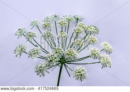 Insects Crawling On The Umbellate Inflorescence Of The Hemlock, Isolated On A Light Background. Whit