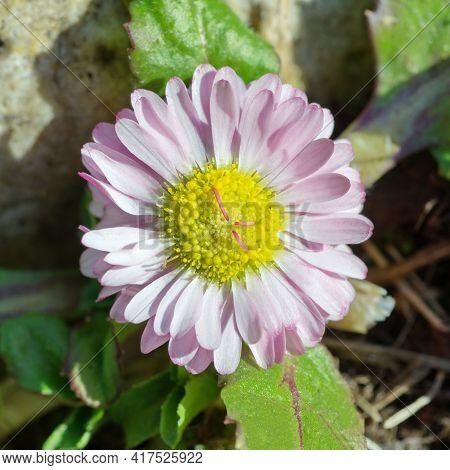 Flowering Perennial (lat. Bellis Perennis) Close Up