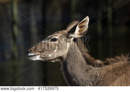 The Common Eland, Taurotragus Oryx Also Known As The Southern Eland Or Eland Antelope, Is A Savannah
