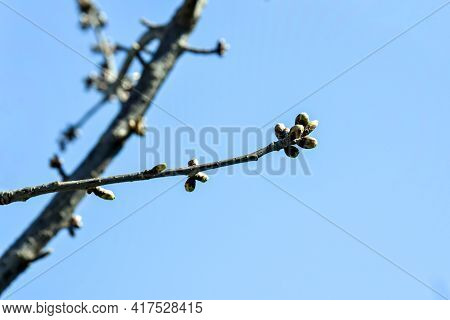 Cherry Branches With Swollen Buds Against Blue Sky. Fruit Trees In Orchard In Early Spring. Beginnin
