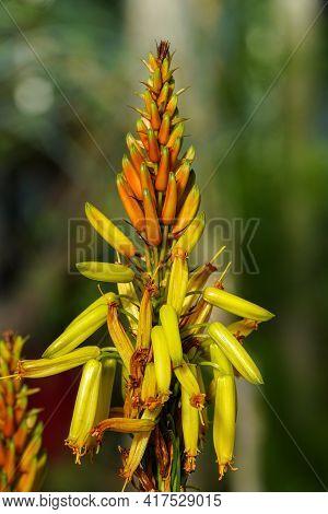 Closeup Of Aloe Cryptopoda, Also Known As Yellow Aloe And Aloe Cryptopoda Baker. It Is A Species Of