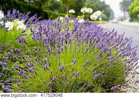 Close Up Lavender And Allium Flowers, Growing Along The Road On Green Background. Gardening Season.