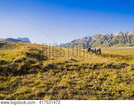 Impressive Landscape With Grazing Cows In The Meadows Of Campo Imperatore Valley, Gran Sasso Nationa