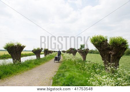 Dutch landscape in spring with row pollard willows and cow parsley and man with dogcar on the bike