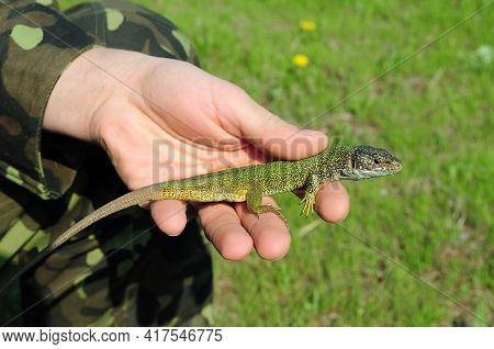 Male Hand Catch Lizard. European Green Lizard Lacerta Viridis With Long Tail In Human Fingers. Littl