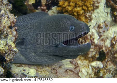 The Head Of A Giant Moray Eel That Opened Its Mouth With Sharp Teeth. Moray Eels Are Mostly Reef Dwe