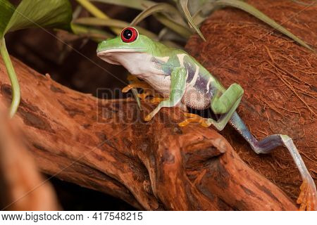 Red-eyed Tree Frog Bravely Climbs Up On The Branch