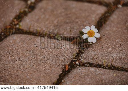 Beautiful Little Daisy Flower Growing On The Sidewalk Between Concrete Slabs