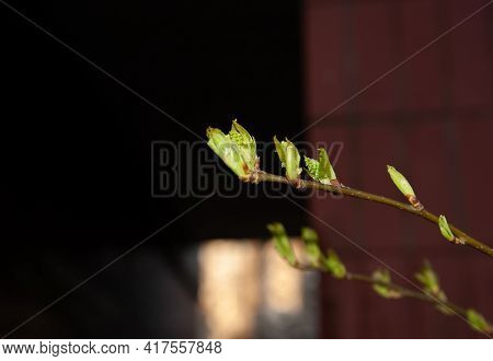 Young Spring Leaves Sprouting From Their Buds, Selective Focus, Shallow Dof