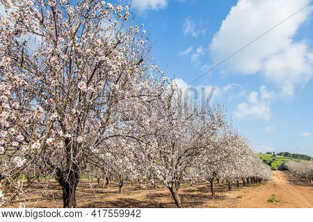 Sunny warm spring day in February. Israel. Light white clouds in the blue sky. Grove of almond trees in spring bloom. Picturesque alley of flowering almond trees.