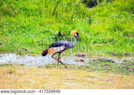 Southeast Kenya, the unique Amboseli park. Crowned crane looking for food. Trip to the Horn of Africa, Kenya. Amboseli is a biosphere reserve by UNESCO