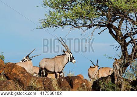 Gemsbok antelopes (Oryx gazella) in natural habitat, Mokala National Park, South Africa