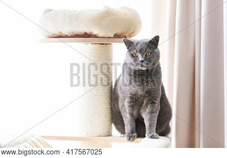 British cat sitting on cat tree scratching post. British shorthair breed