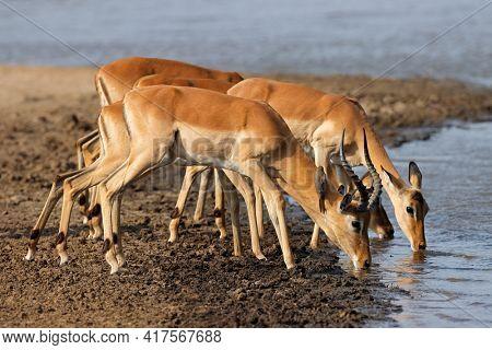 Impala antelopes (Aepyceros melampus) drinking water, Kruger National Park, South Africa