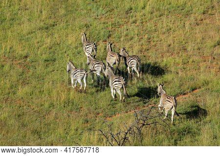 Aerial view of plains zebras (Equus burchelli) running in grassland, South Africa