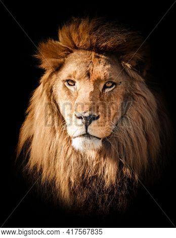 Lion face portrait on black background.