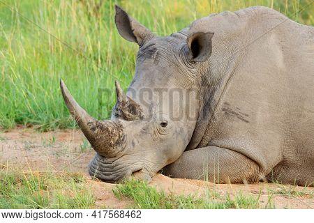 Portrait of a white rhinoceros (Ceratotherium simum) resting in natural habitat, South Africa