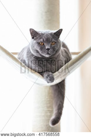 British cat on hammock on cat tree scratching post. British shorthair breed