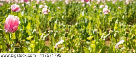 Panorama From Pink Poppies In Blossom On A Summer Meadow