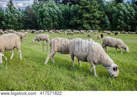 Sheeps On A Meadow On Green Grass In Autumn